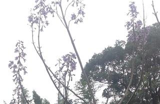 桐の花.jpg